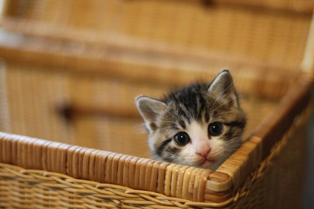 子猫にはドライフードではなくウェットフードを与えるべき?